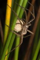 Pisaura mirabilis female with cocoon · paprastasis guolininkas ♀ su kokonu