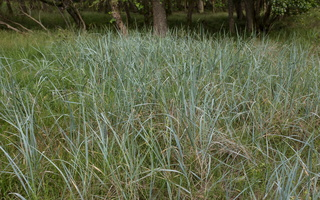 Poaceae · migliniai