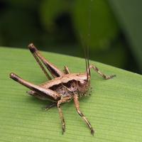 Pholidoptera griseoaptera nymph · keršasis žiogas, nimfa