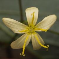 Lactuca muralis flower · miškinė zuiksalotė, žiedas