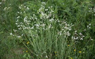Silene vulgaris · paprastoji naktižiedė 1879