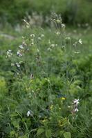 Silene latifolia · baltasis šakinys 1880