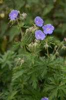 Geranium pratense · pievinis snaputis