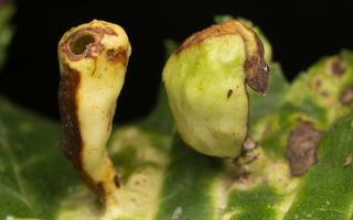 Aphidoidea · amarai 1853