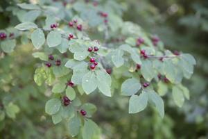 Lonicera xylosteum · paprastasis sausmedis