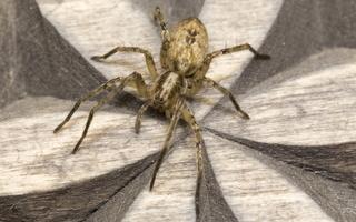 Anyphaena accentuata, female · miškinis gležnavoris ♀