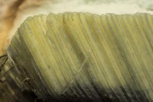 Xerocomus badius hymenophore · rudakepuris aksombaravykis