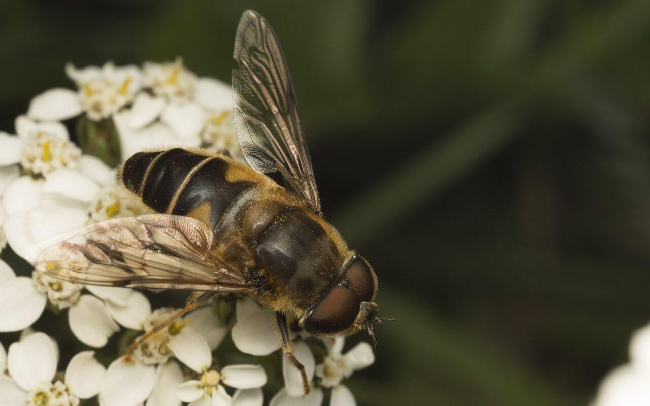 Syrphidae-2014.jpg