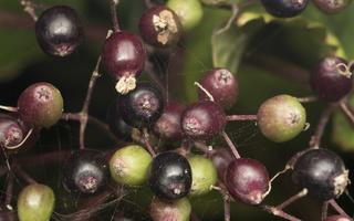 Sambucus nigra · juoduogis šeivamedis