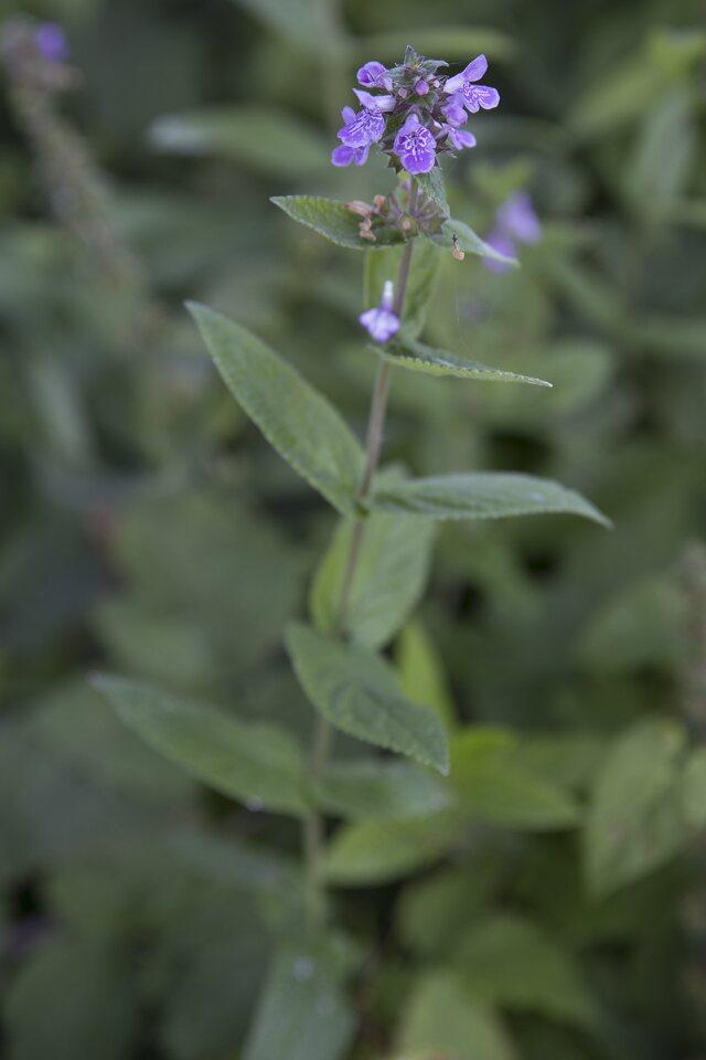 Lamiaceae-2025.jpg