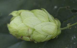 Cannabaceae · kanapiniai