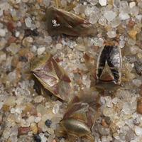 Elasmostethus interstinctus · krūminė skydblakė