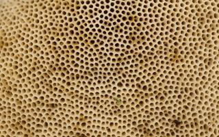 Boletaceae · baravykiniai