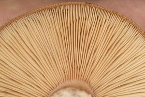 Lactarius rufus gills · rudasis piengrybis, lakšteliai