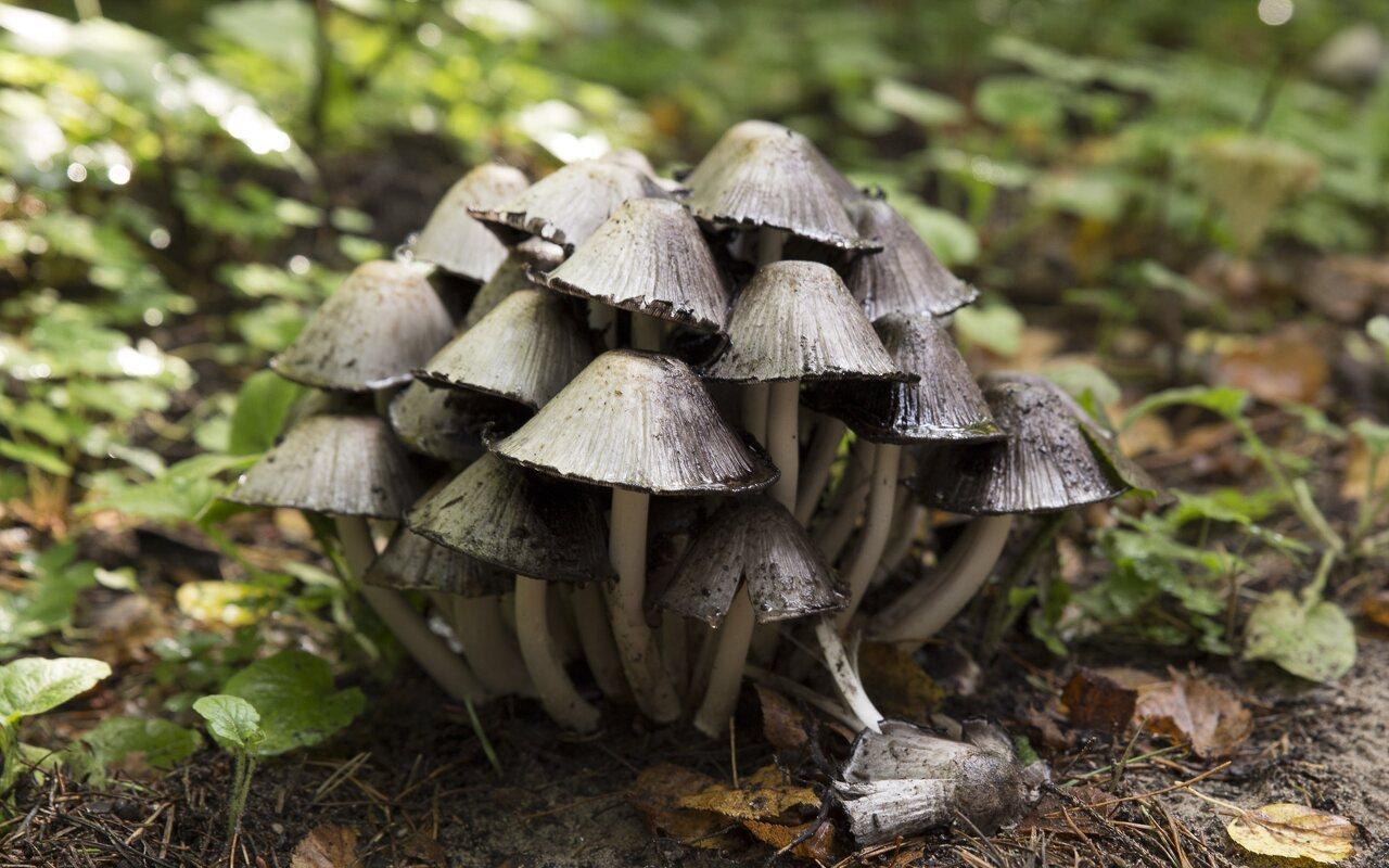 Coprinellus-micaceus-2096.jpg