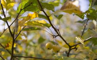 Malus sylvestris · miškinė obelis