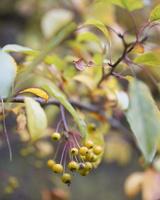 Malus sieboldii · skiautėtalapė obelis