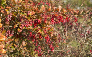 Berberis vulgaris · paprastasis raugerškis