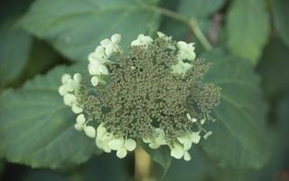 Hydrangeaceae · hortenzija