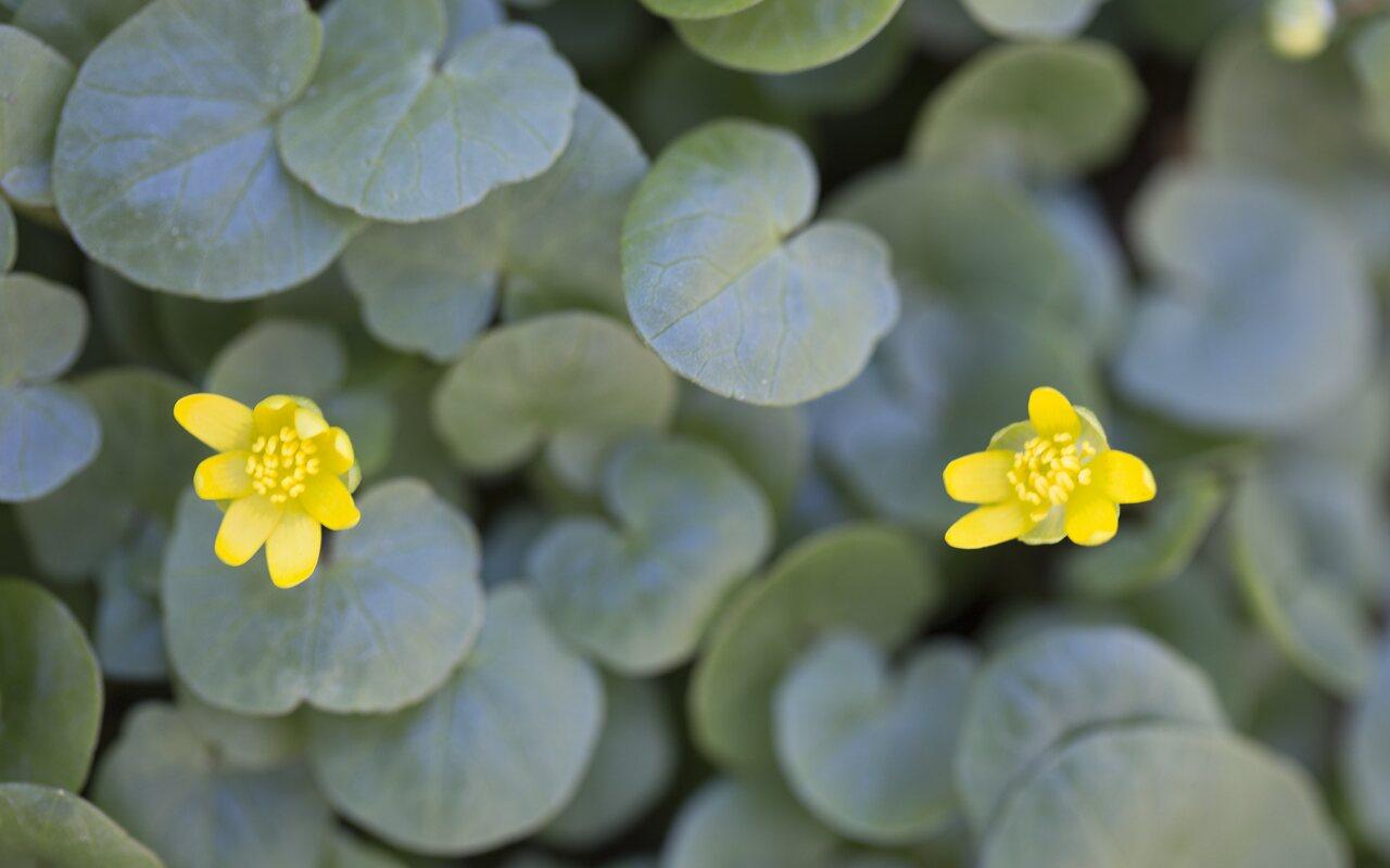 Ranunculus-ficaria-2385.jpg