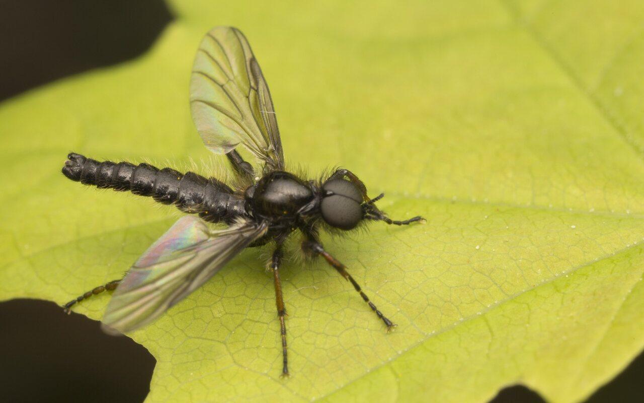 Bibionidae-2524.jpg