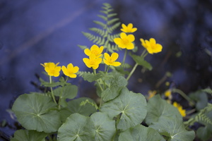 Caltha palustris · pelkinė puriena