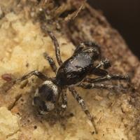 Salticus cingulatus male · baltašonis šokliavoris ♂