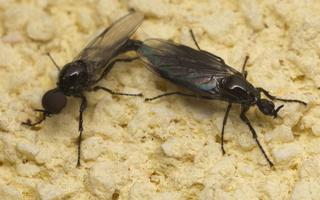 Dilophus febrilis copula · storakojai uodai poruojasi