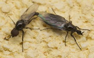 Dilophus febrilis · storakojis uodas