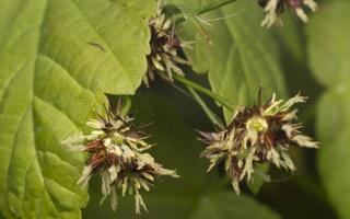 Juncaceae · vikšriniai