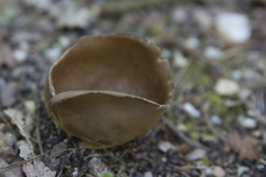 Helvella acetabulum · paprastasis taurėaukšlis