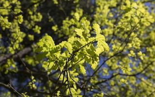 Quercus robur · paprastasis ąžuolas 2567