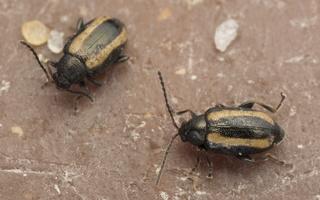 Phyllotreta vittula · javinė kopūstinukė