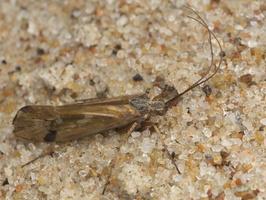 Limnephilus binotatus · apsiuva