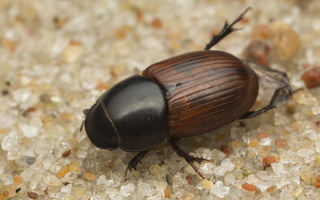 Aphodiidae · afodijai