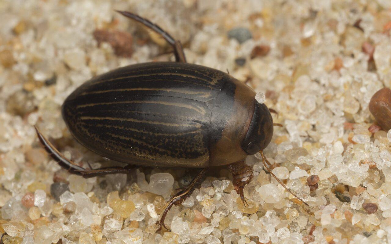 Dytiscidae-2585.jpg