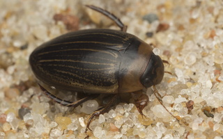 Hydaticus continentalis · samandusė