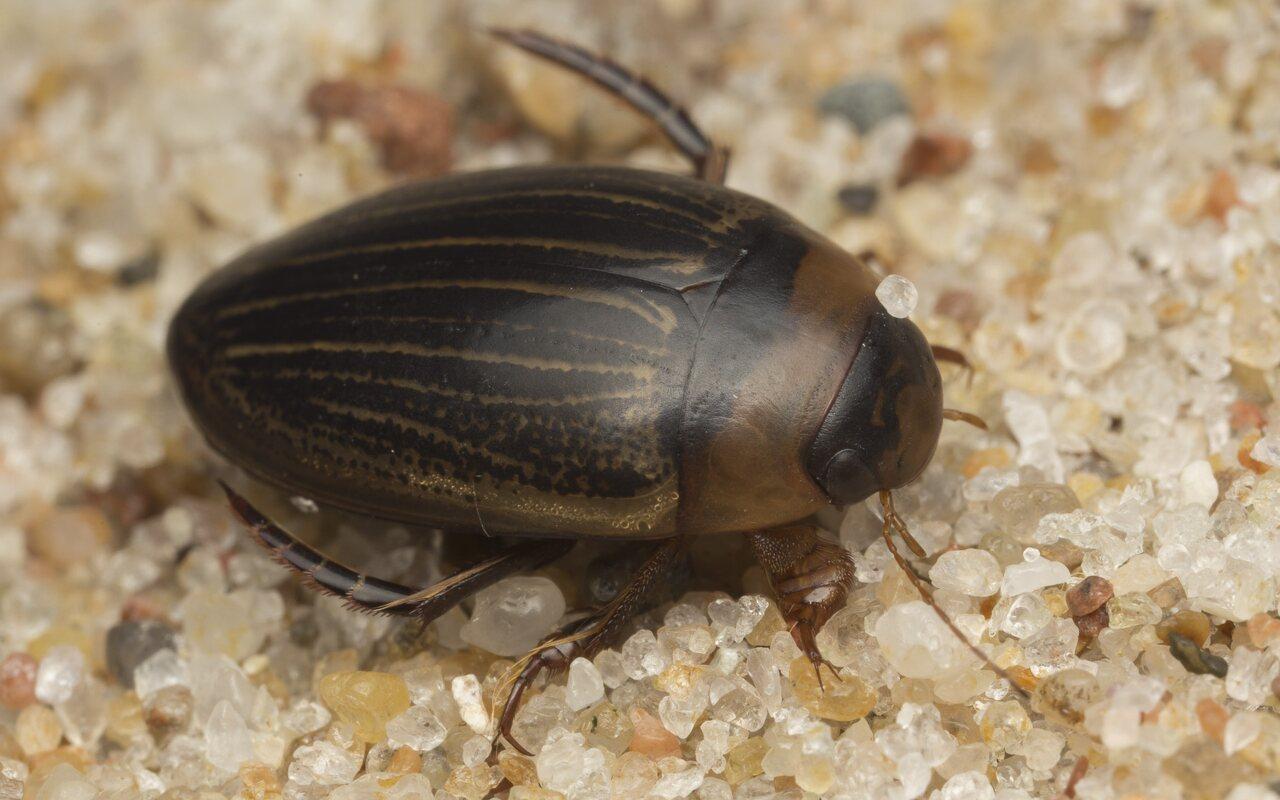 Dytiscidae-2586.jpg