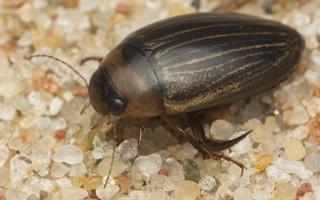 Dytiscidae · dusia