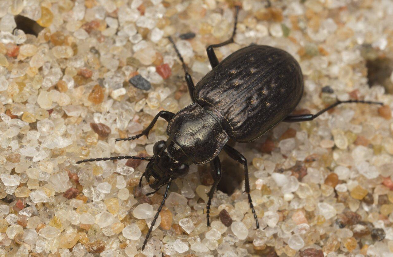 Carabidae-2589.jpg