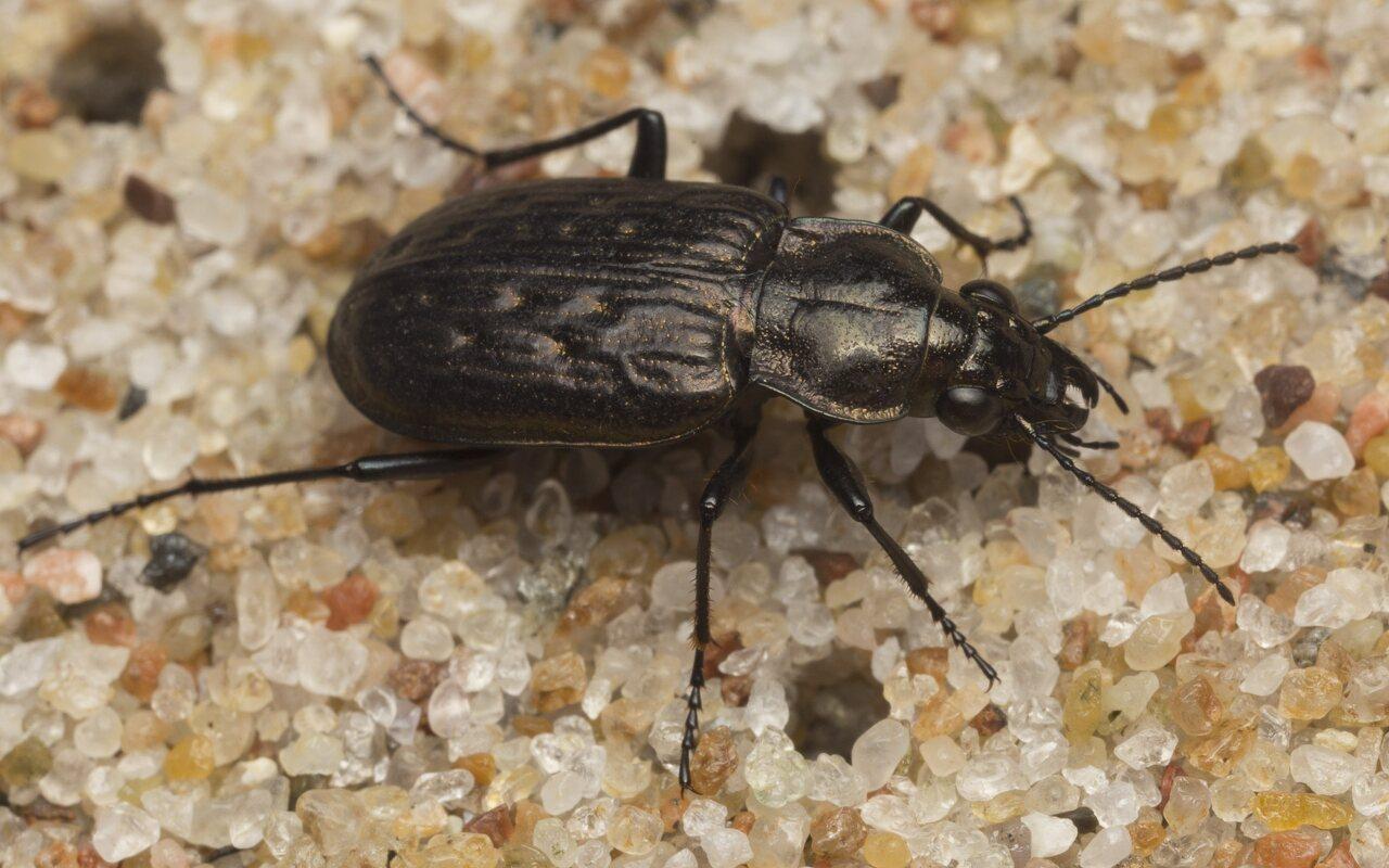 Carabidae-2590.jpg