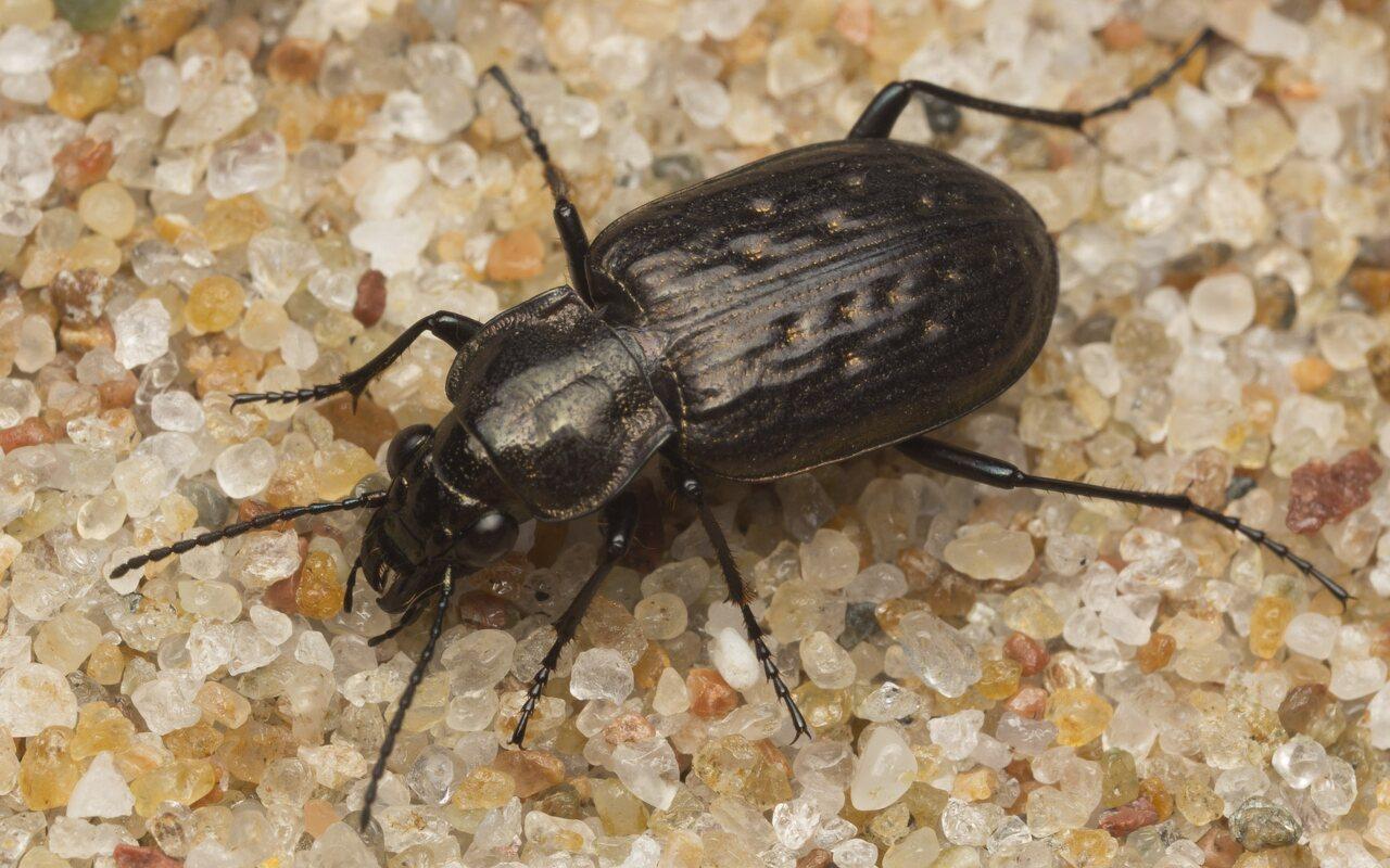 Carabidae-2591.jpg