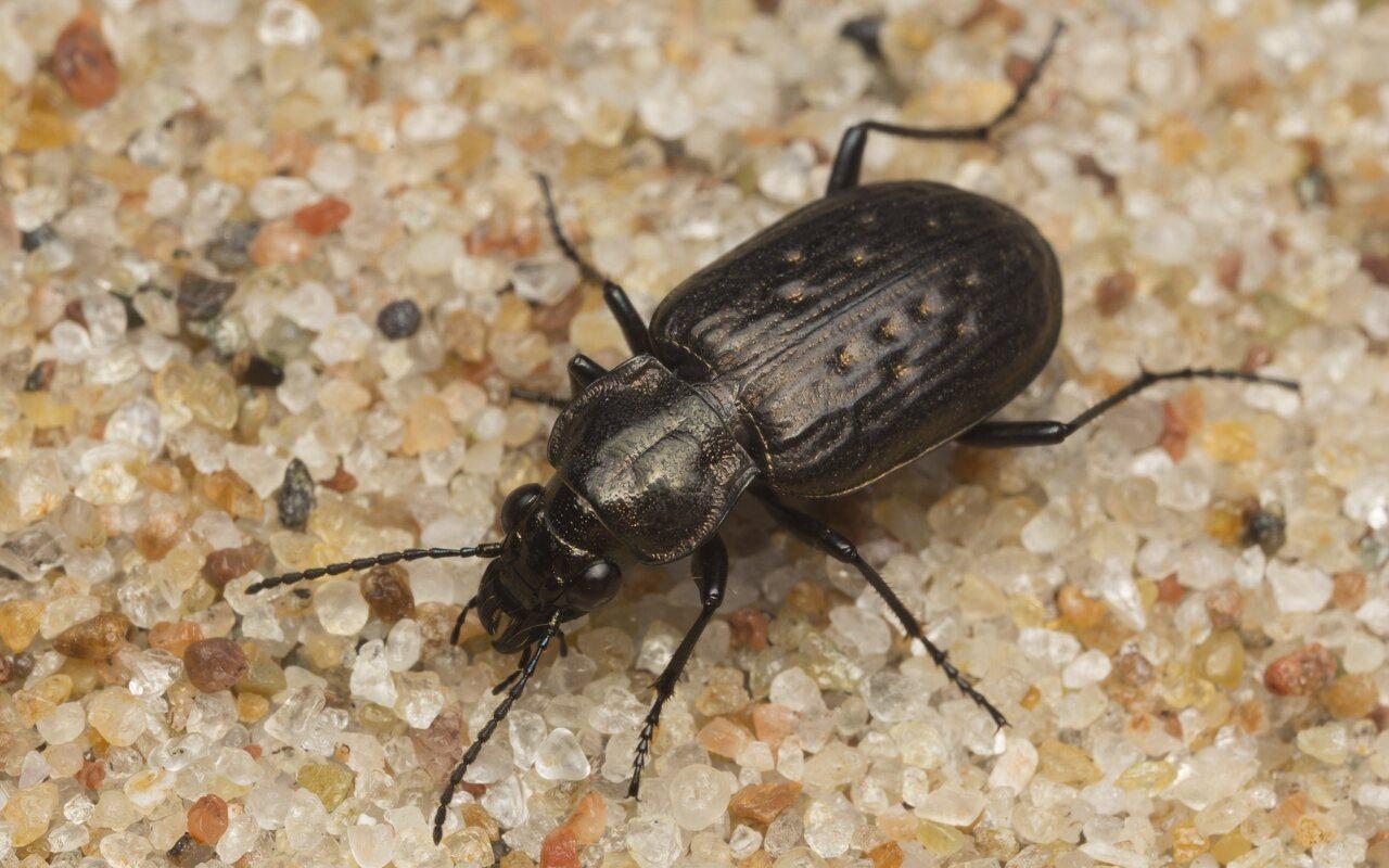 Carabidae-2592.jpg