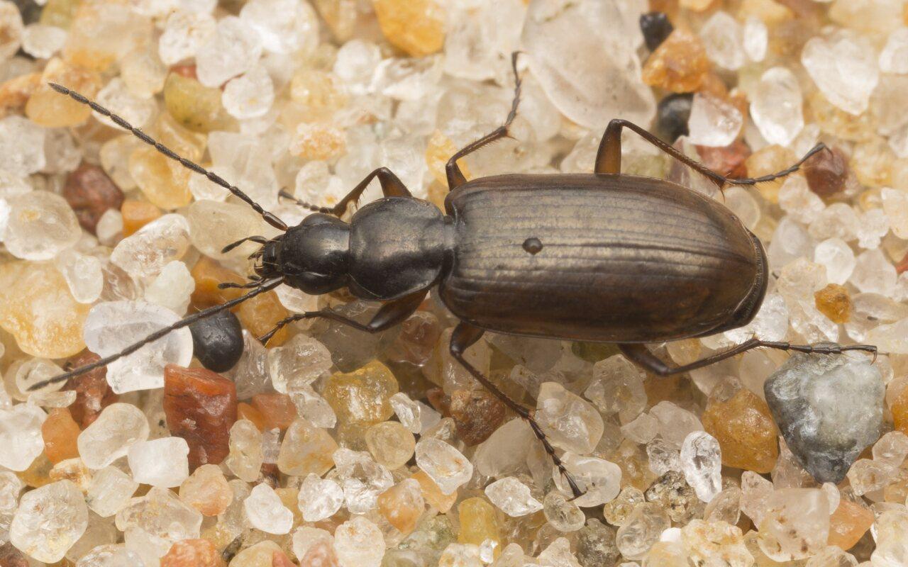 Carabidae-2609.jpg