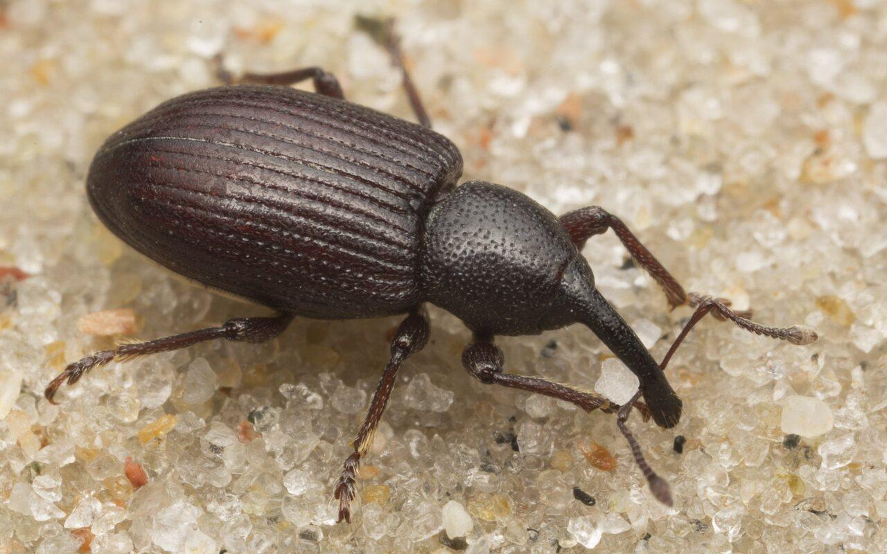 Curculionidae-2610.jpg