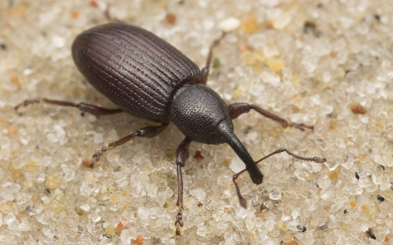 Curculionidae-2612.jpg