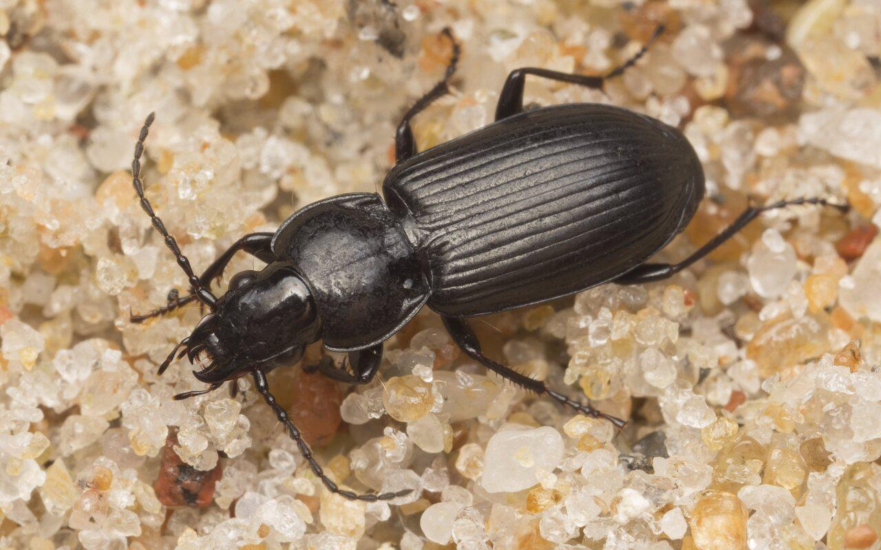 Carabidae-2613.jpg