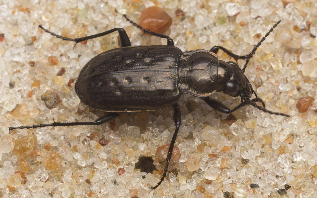 Carabidae-2617.jpg