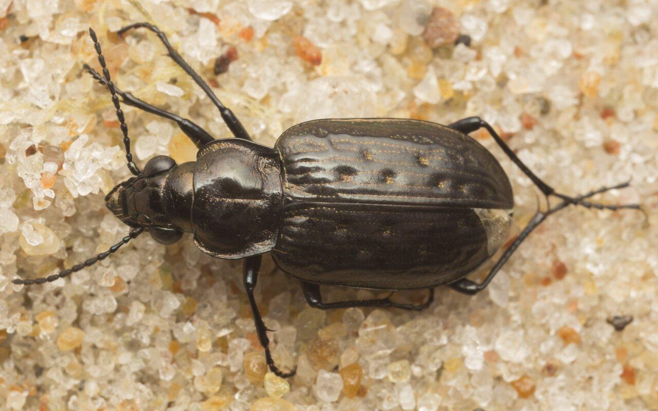 Carabidae-2620.jpg