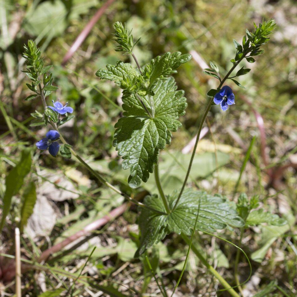 Plantaginaceae-2655.jpg